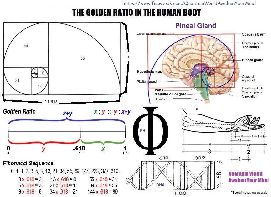the golden ratio natures beautiful proportion The golden ratio in human beauty and nature the human face abounds with golden ratios  the golden ratio appears in the proportions of many living creatures.